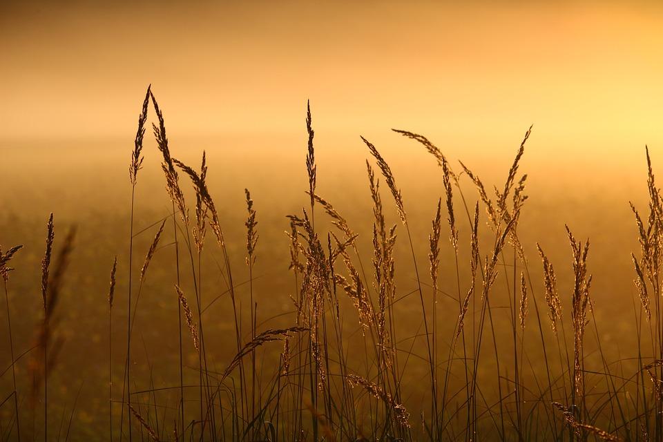 Reed, Grass, Fog, Sunrise, Grasses, Light