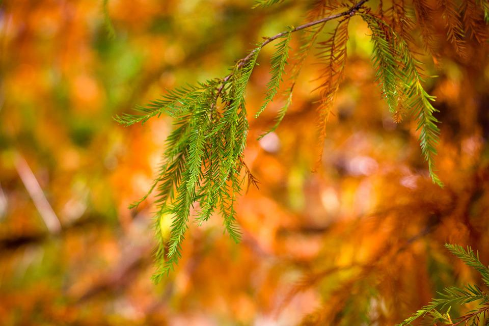 Cypress, Leaves, Sunrise, Morning, Brown, Green, Plant