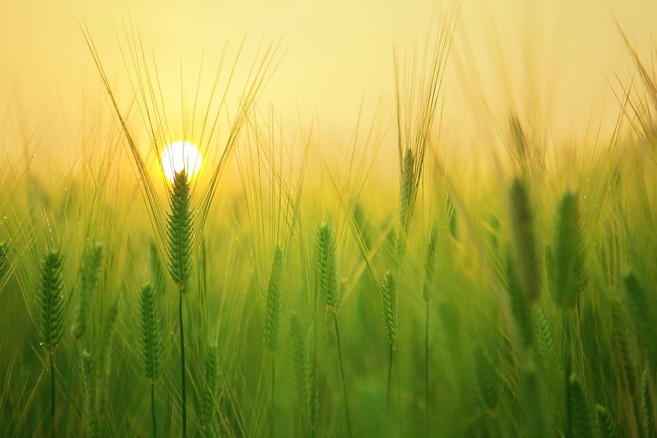 Barley Field, Wheat, Harvest, Sunrise, Morning