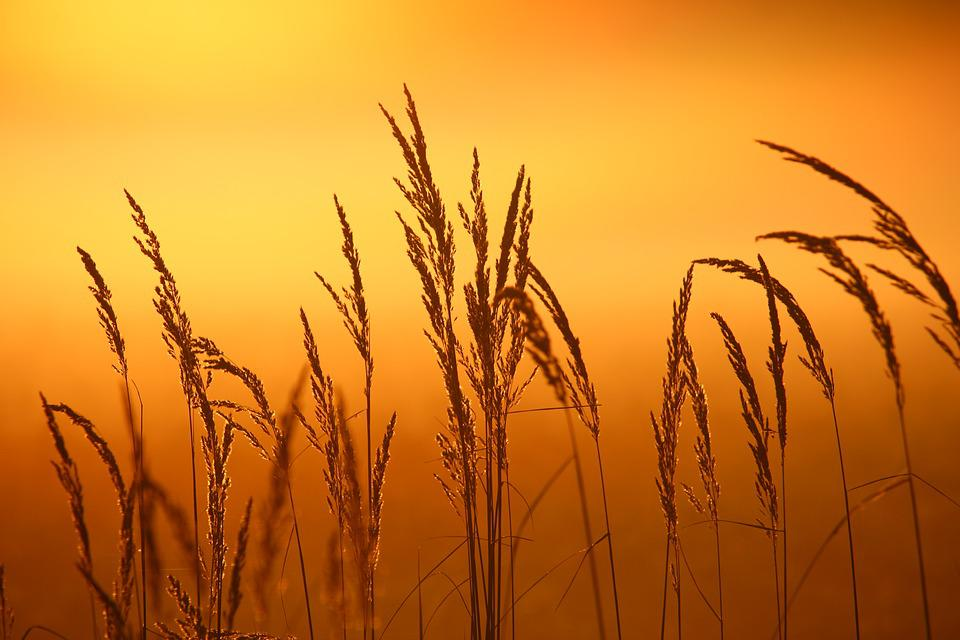 Reed, Plant, Sunrise, Fog, Grass, Nature, Mood, Sun