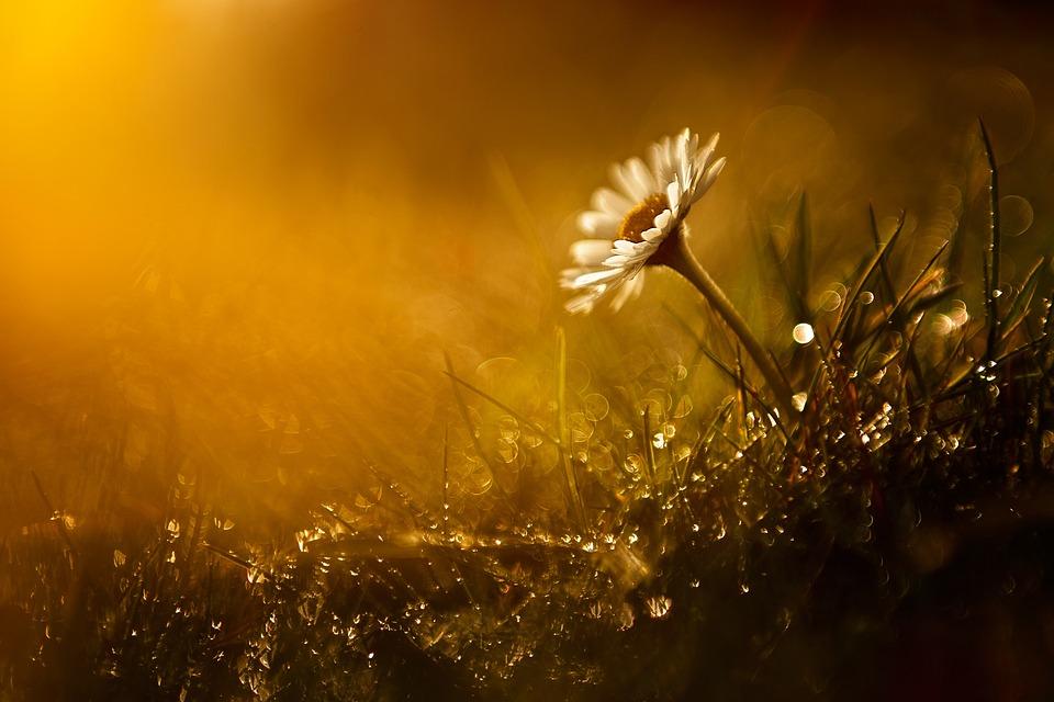 Flower, Wildflower, Sunset, Sunrise, Sunny, Daisy