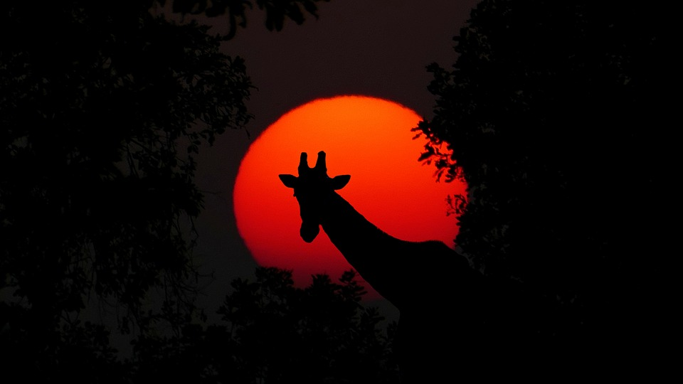 Giraffe, Animal, Africa, Sunset, Nature, Wilderness