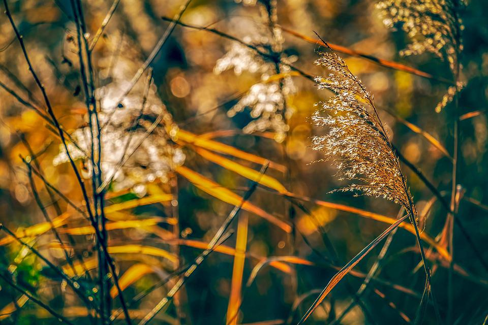 Reed, Plant, Nature, Bank, Sunset, Backlighting, Grass
