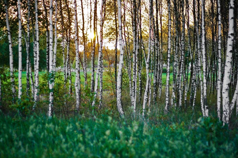 Birch, Forest, Woods, Sunset