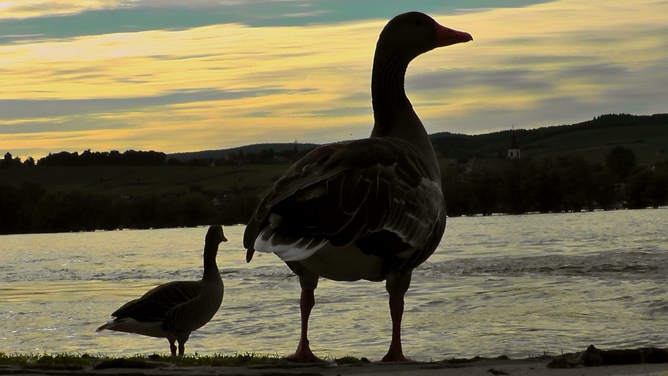 Duck, Bird, Abendstimmung, Sunset, Sky, Water, Romance