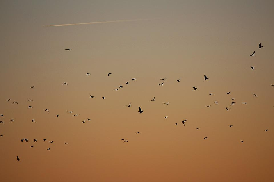 Flock Of Birds, Birds, Swarm, Dig, Sunset, Evening