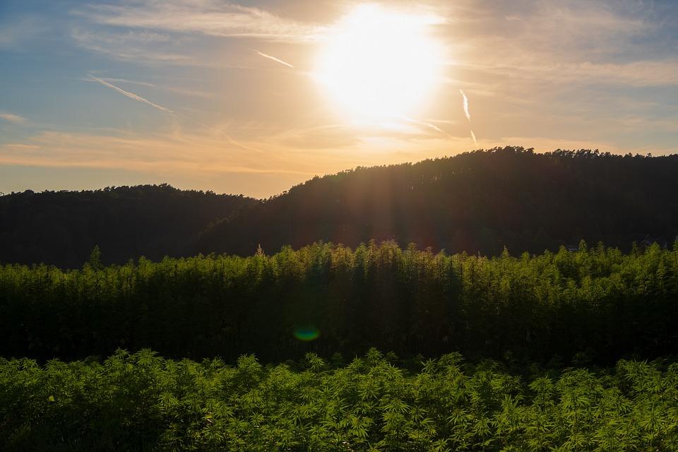 Fields, Plant, Hemp, Landscape, Sunset, Green, Sunlight