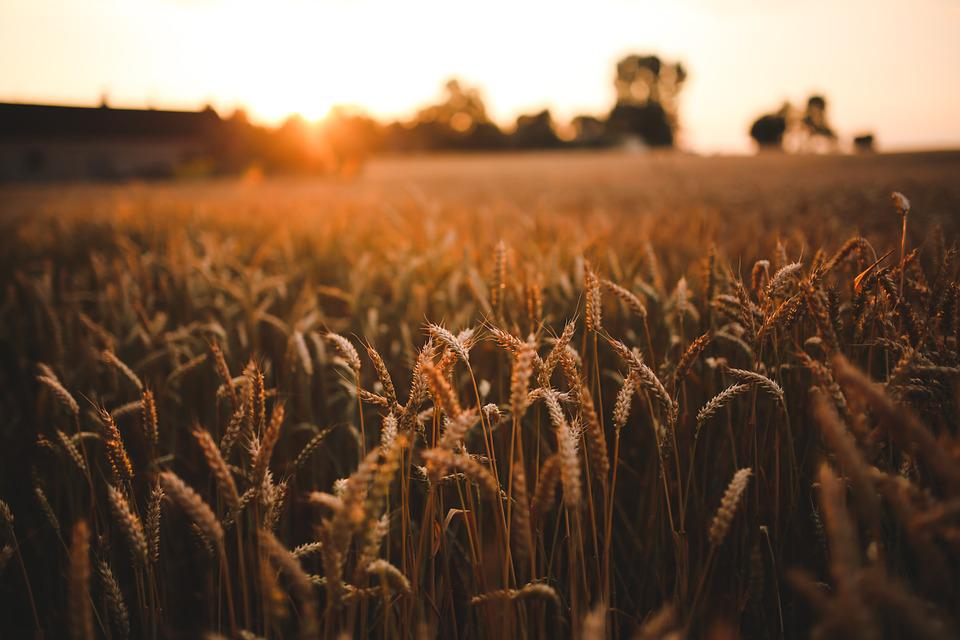 Sunset, Grain, Field, Summer, Harvest, Village, Love