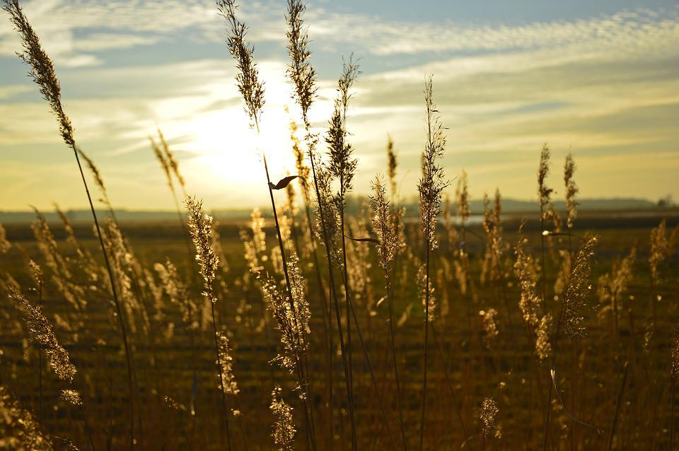 Grasses, Inflorescences, Sunset, Flora, Nature