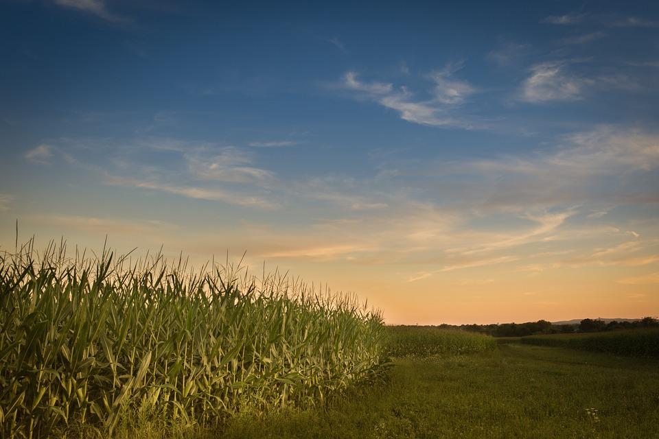 Farm, Sunset, Corn, Agriculture, Rural, Landscape