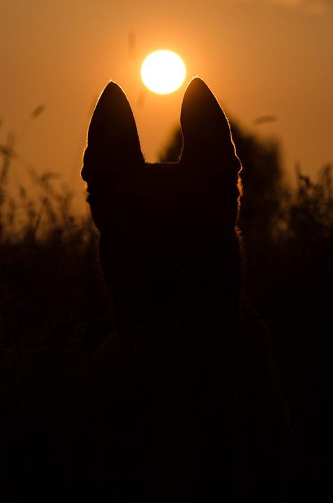 Summer, Sunset, Dog, Malinois