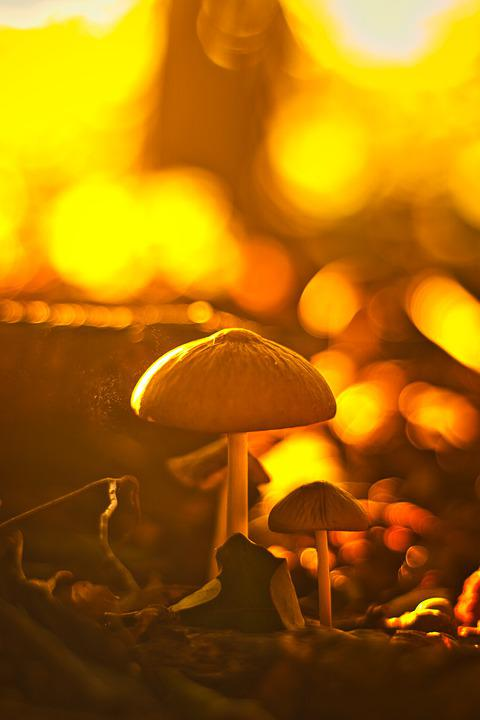 Mushrooms, Forest, Sunset, Toadstools, Fungi, Nature