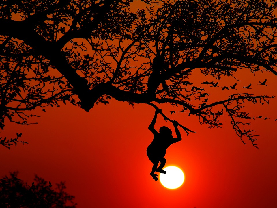 Monkey, Animal, Wilderness, Nature, Climb, Tree, Sunset