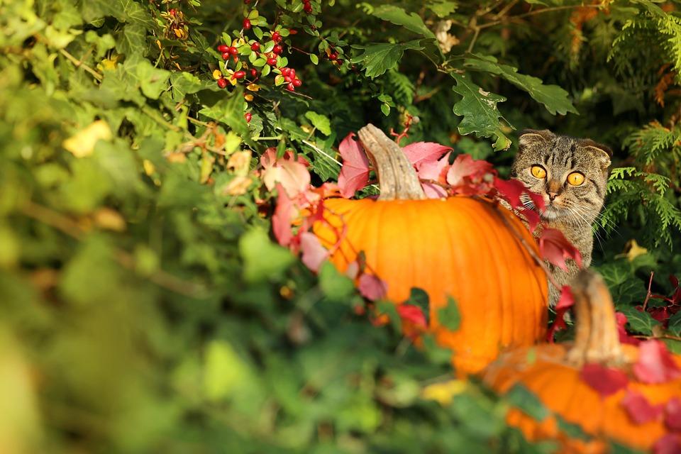 Autumn, Cat, Pumpkin, Ivy, Sunset, Halloween, October