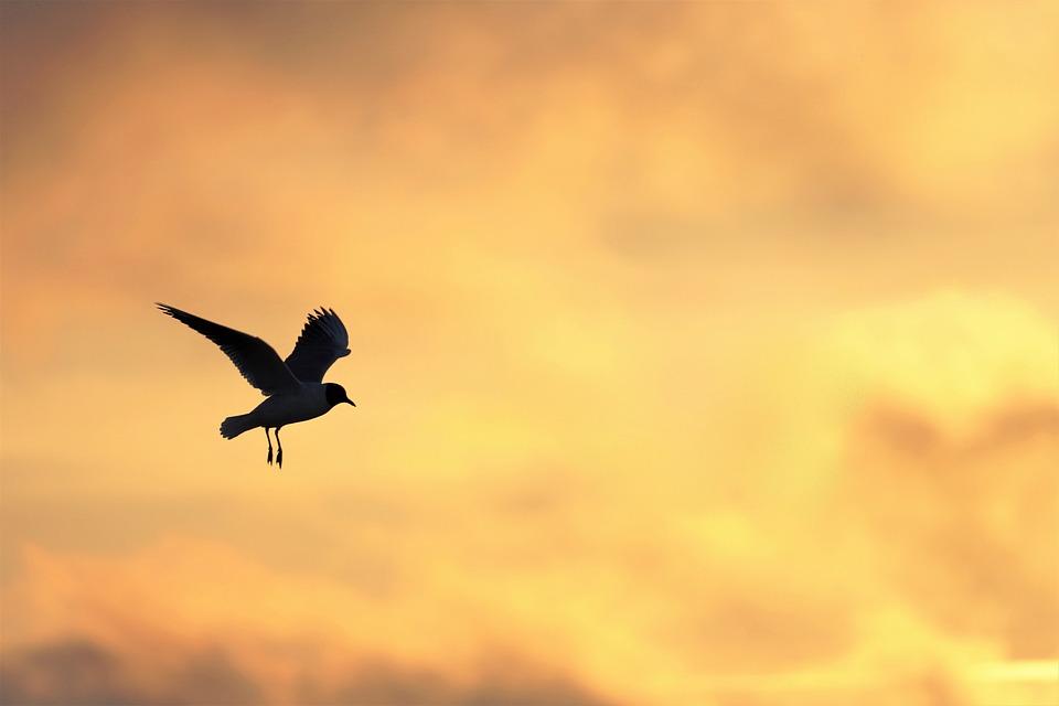 Seagull, Sunset, Sea, Sun, Baltic Sea, Beach, Flying