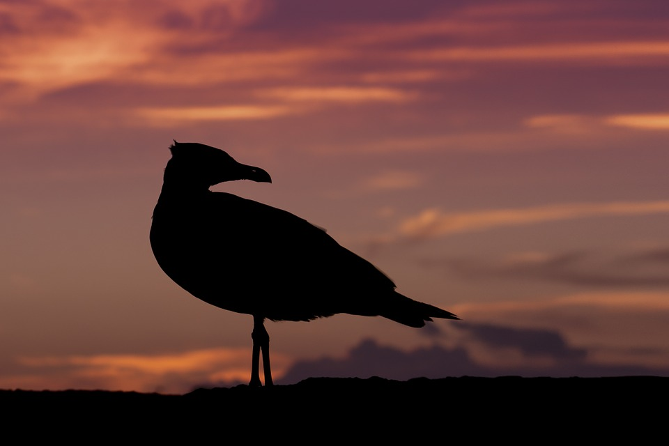 Seagull, Sunset, Nature, Bird, Orange, Twilight