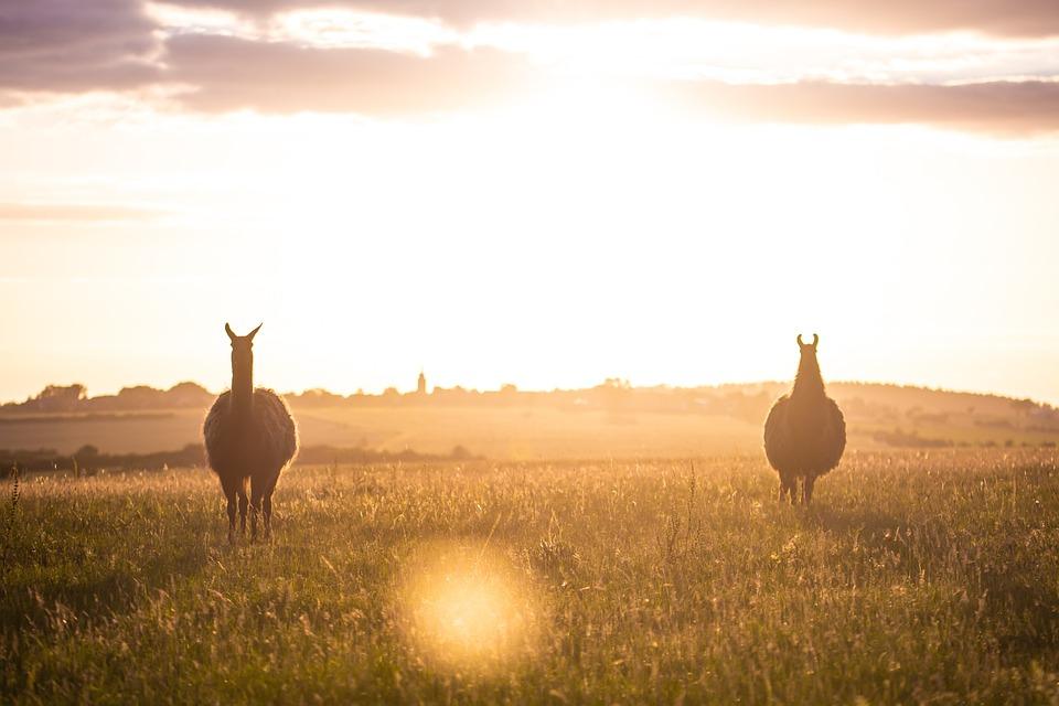 Lama, Silhouette, Animal, Sunset, Nature