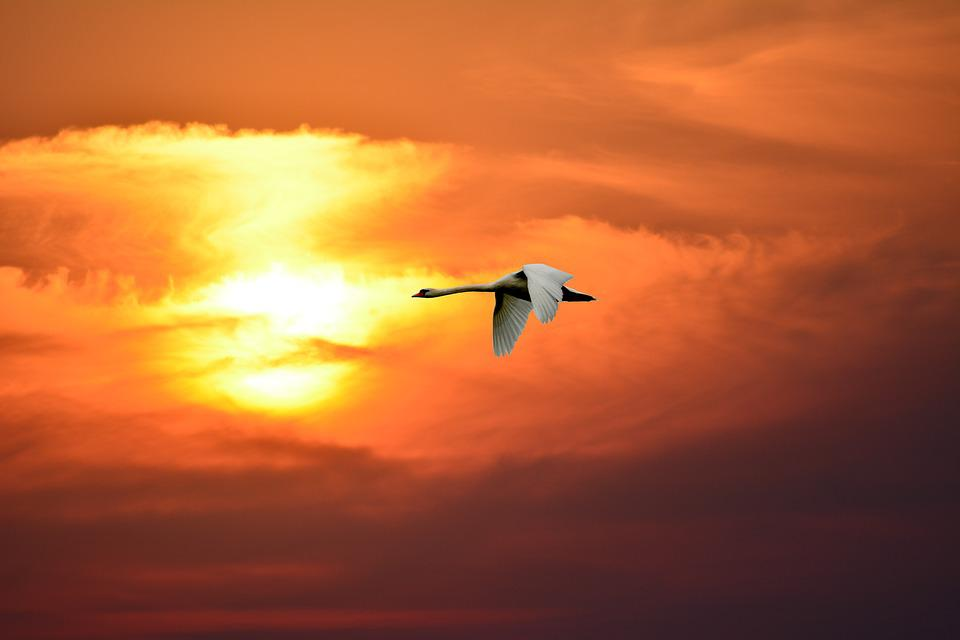 Sunset, Sky, Evening, Dusk, Swan