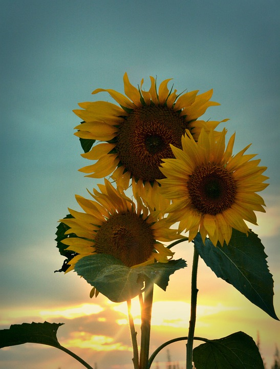 Summer, Sunflower, Sunset
