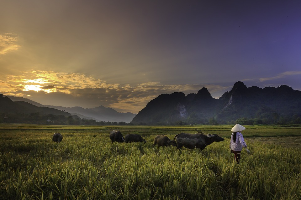 Sunset, Field, Twilight, Herd Of Buffalo, Farmer, Women
