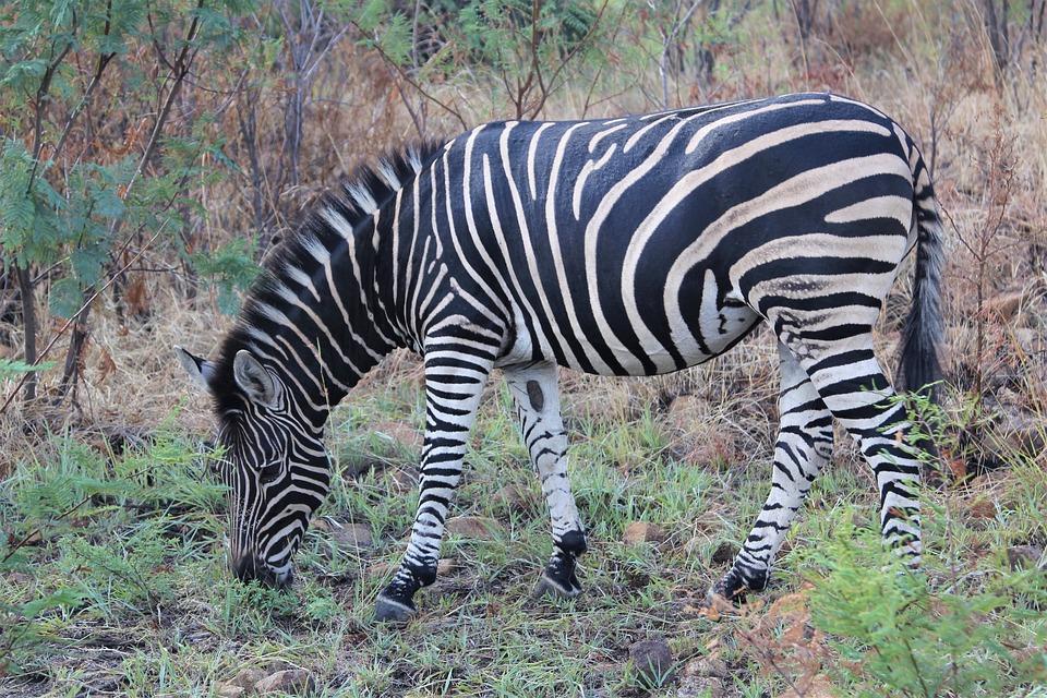Zebra, Grazing, Sunset, Burchell, Camouflage, Wild