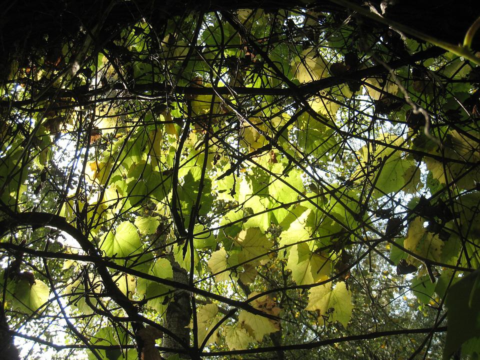 Leaves, Wild Grapes, Autumn Lights, Sunshine
