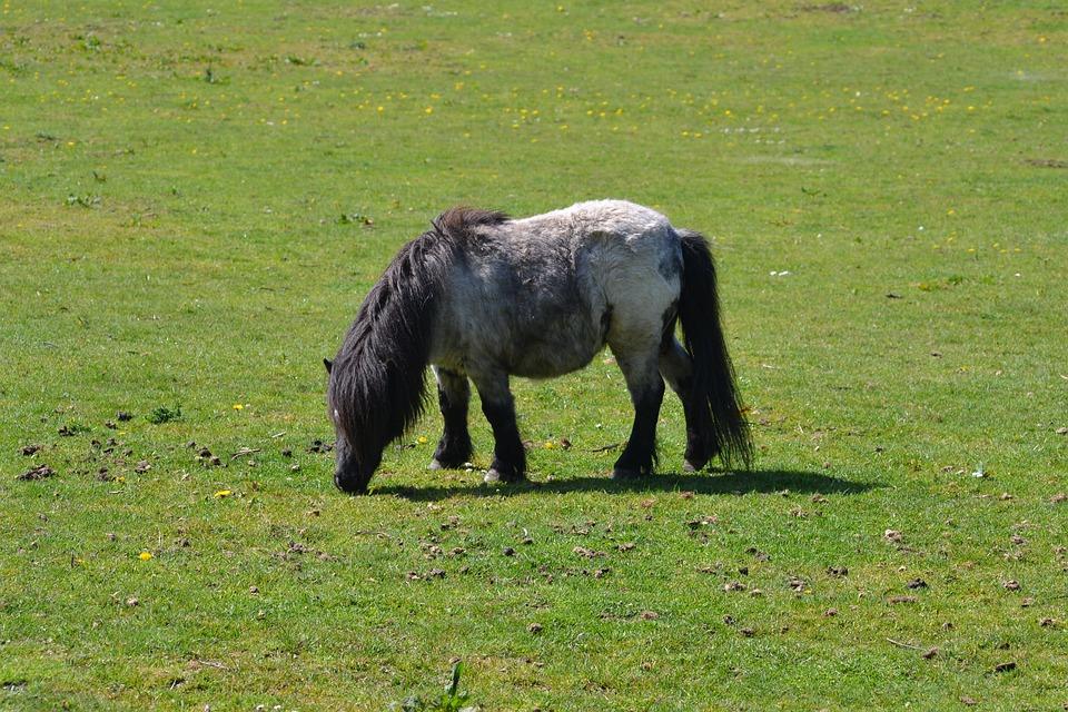 Pony, Sunshine, Grazing, Field, Nature, Shetland