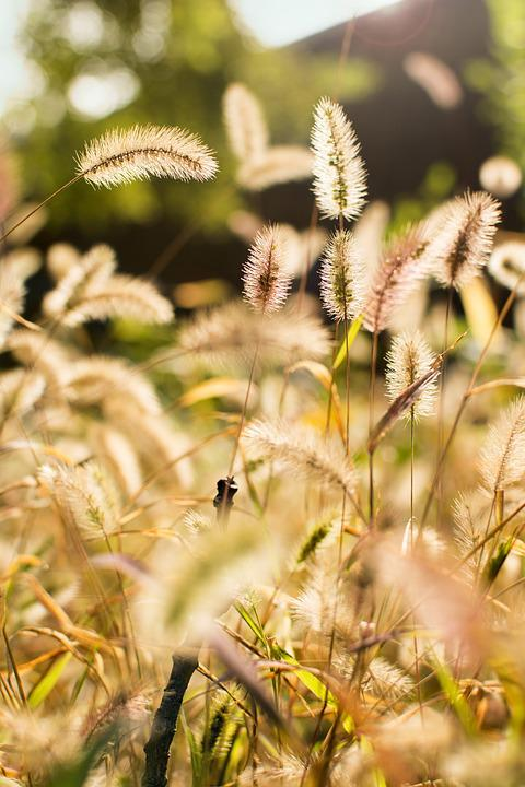 Setaria Viridis, Plant, Sunshine