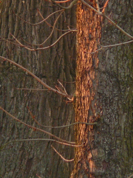 Tree, Bark, Spotlight, Sunshine, Light, Red, Reddish