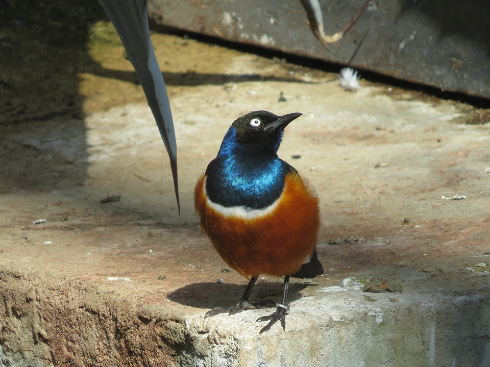 Superb Starling, Bird, Fly, Wings, Feather, Wildlife