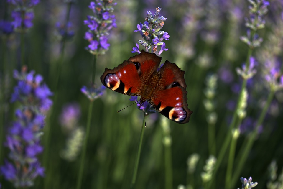 Lavender, Butterflies, Supplies, Flower, Blue, Coloring