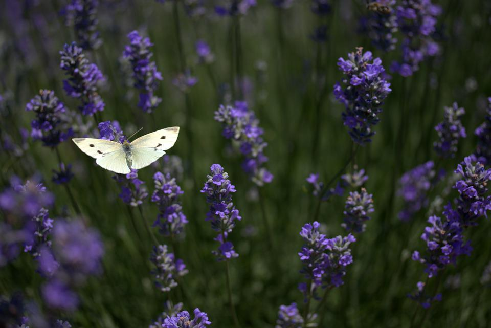 Butterfly, Lavender, Wings, Insect, Supplies, Flower
