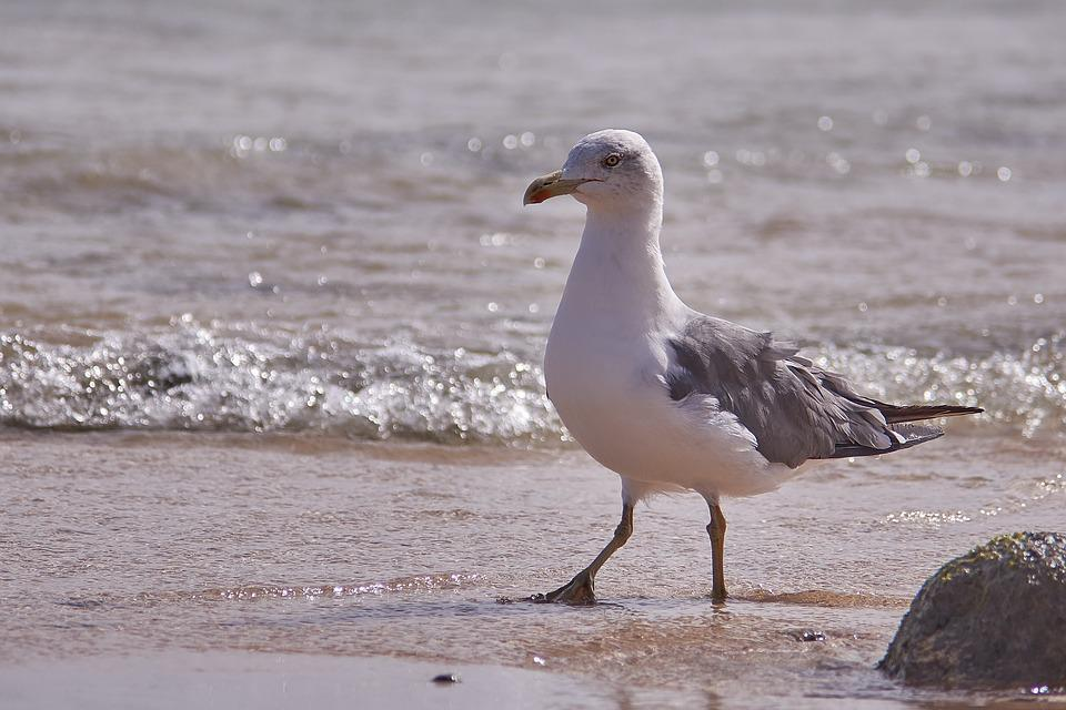 Seagull, Bird, Sea, Sand, Surf, Wave, Waters