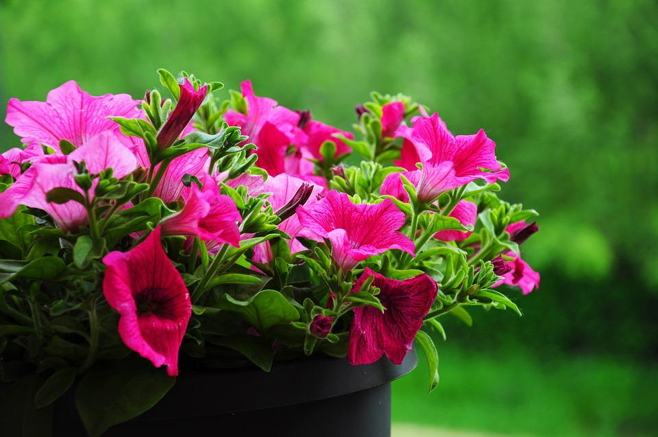 Flowers, Surfinia, Pink, Plant
