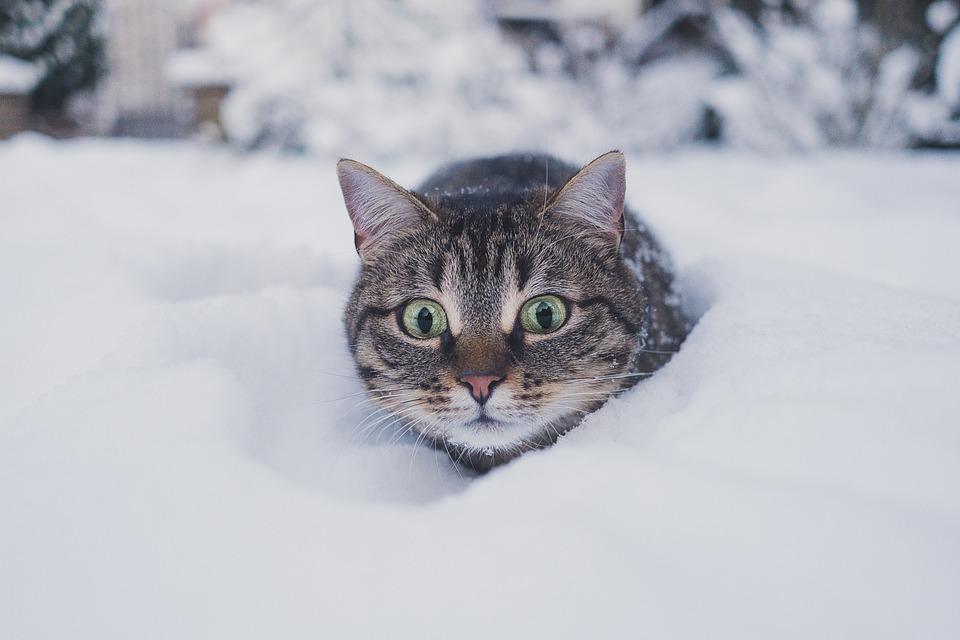 Cat, Surprised, Snow, Tabby, Gray Tabby, Tabby Cat