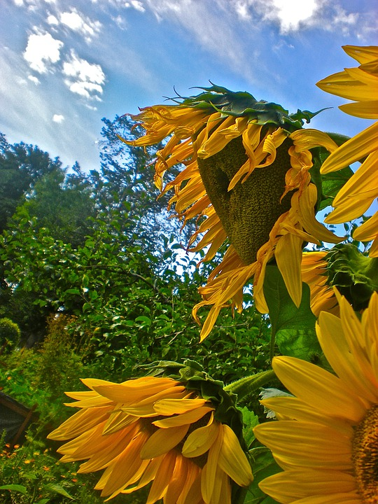 Sunflower, Yellow, Himmel, Cloud, Summer, Surrealism