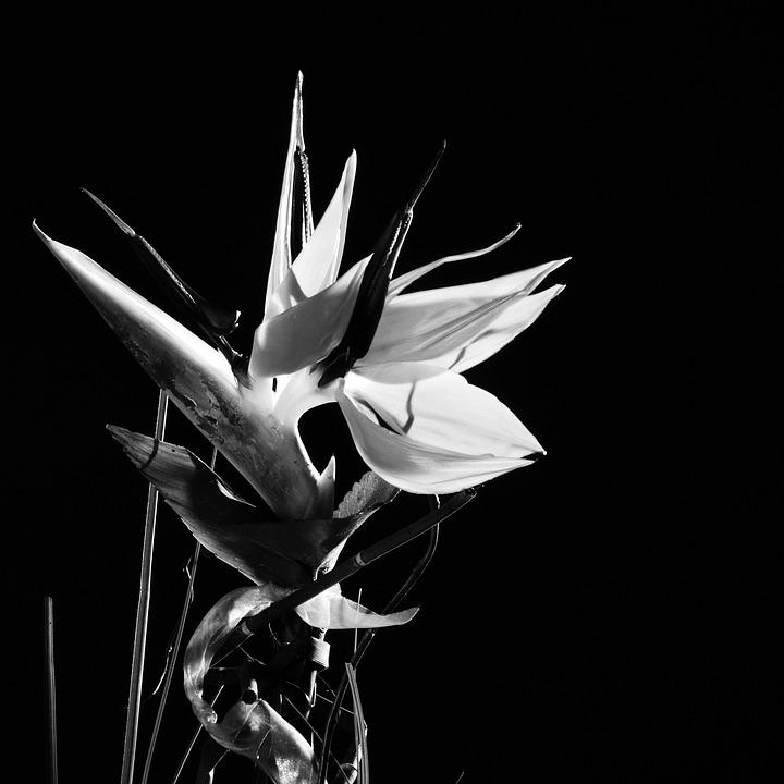 Caudata, Flower, Strelitzia Orchids, Parrot Flower, Sw