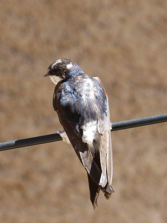 Cable, Swallow, Oreneta, Iridescent, Hirundo Rustica