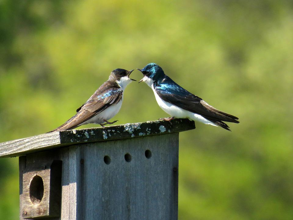 Bird, Swallow, Animal, Nature, Wildlife, Argue