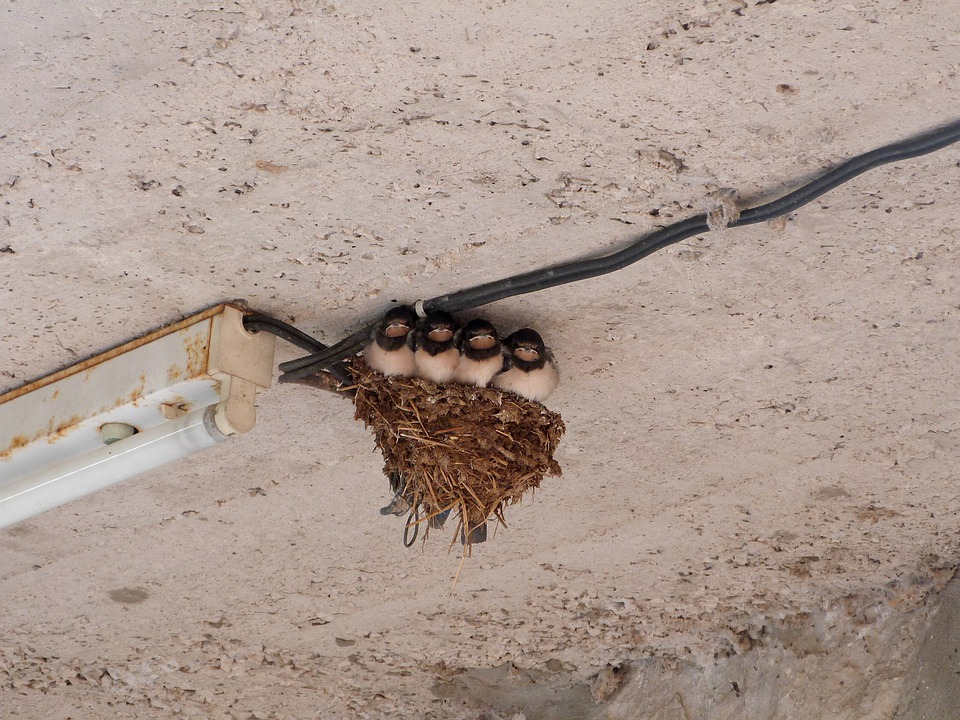 Swallows, Bird, Nest, Ceiling, Cute, Aves, Fauna