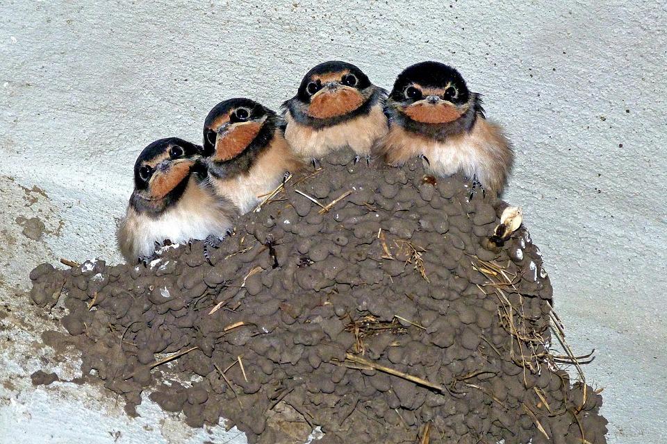 Swallows, Swallow's Nest, Bird, Animal, Martin