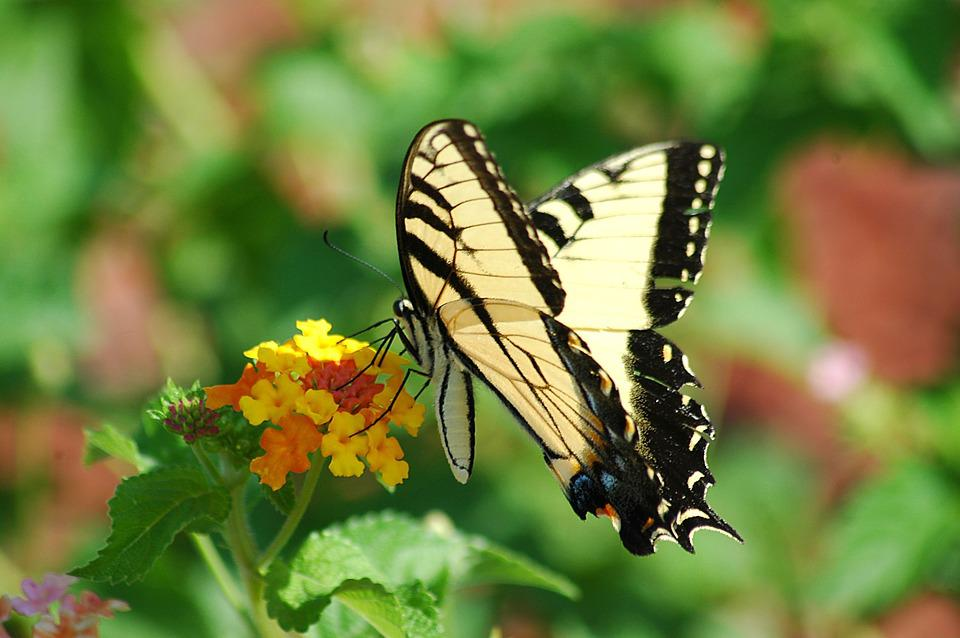 Tiger Swallowtail, Butterfly, Swallowtail, Tiger