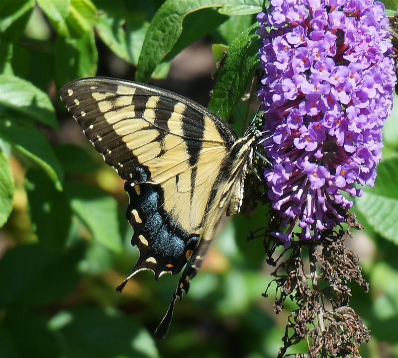 Swallowtail Butterfly, Butterfly, Yellow, Insect