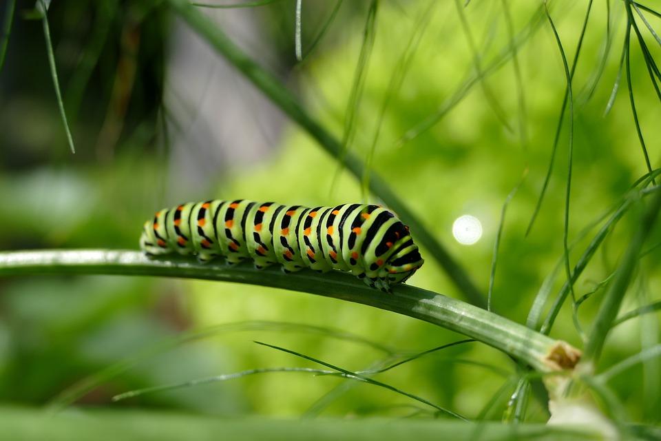 Caterpillar, Swallowtail Caterpillar