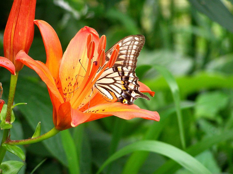 Swallowtail, Butterfly, Insects, Flowers, Red Color