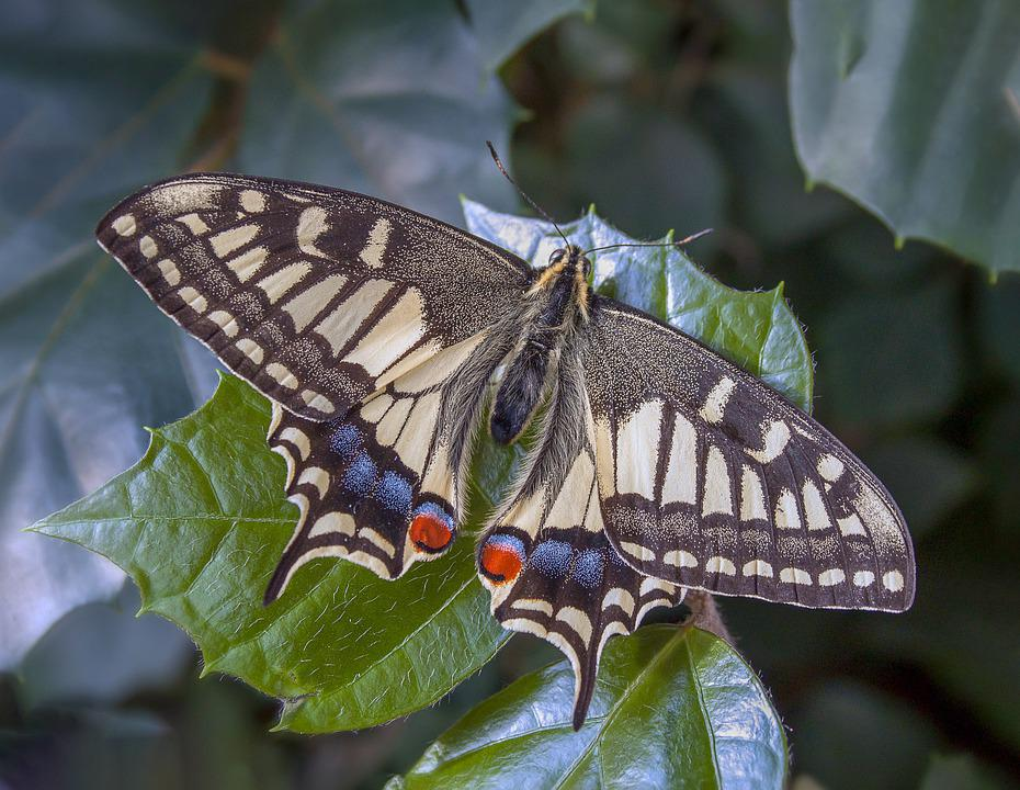 Swallowtail, Butterfly, Insect, Nature, Black, Wings