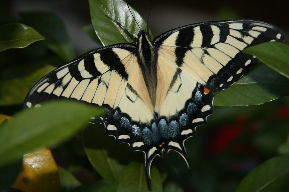 Butterfly, Swallowtail, Insect, Nectar, Yellow