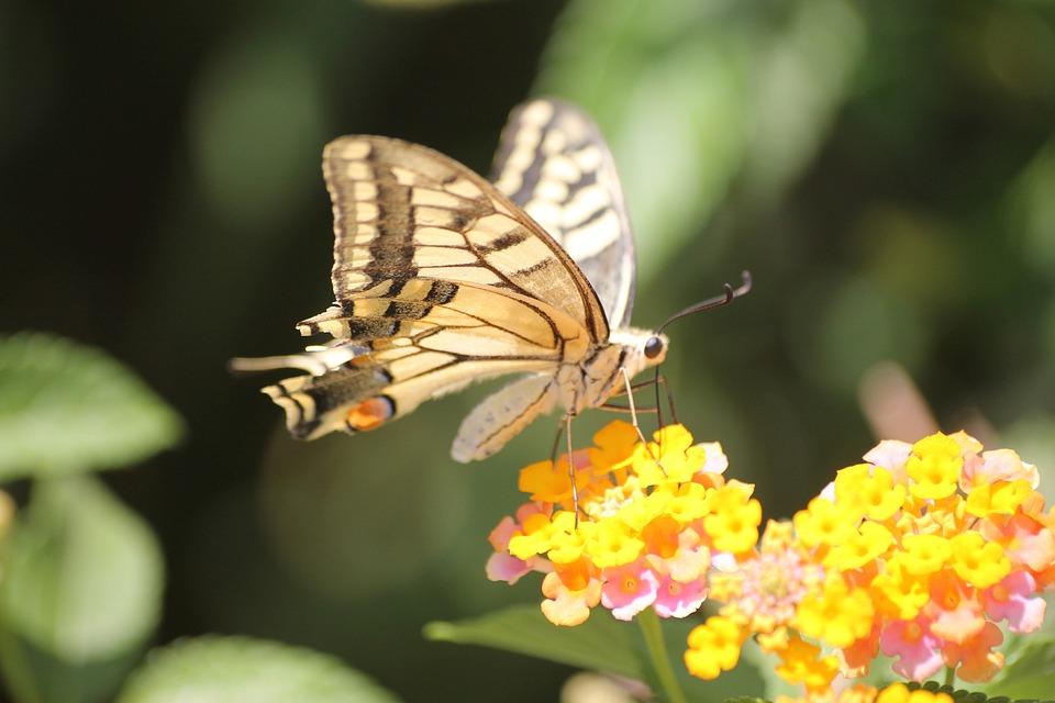 Old World Swallowtail, Swallowtail, Butterfly Greece