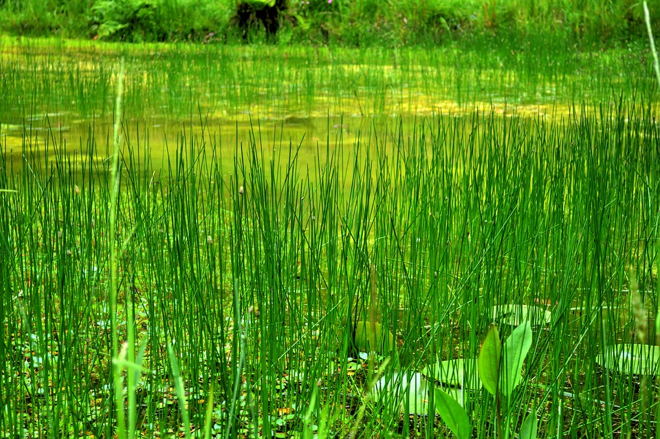 Swamp, Reeds, Plants, Green, Garden, Summer, Nature