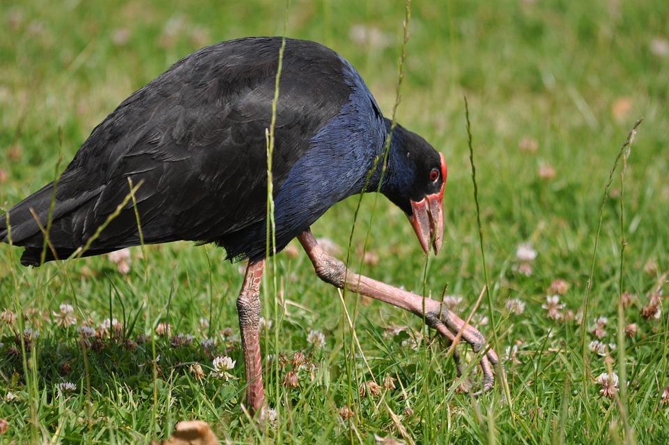 Bird, Pukeko, New Zealand, Swamp Hen